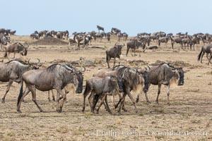 Wildebeest Herd, Maasai Mara National Reserve, Kenya. Maasai Mara National Reserve, Kenya, Connochaetes taurinus, natural history stock photograph, photo id 29777