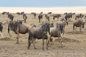 Wildebeest Herd, Maasai Mara National Reserve, Kenya., Connochaetes taurinus, natural history stock photograph, photo id 29778