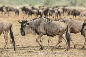Wildebeest Herd, Maasai Mara National Reserve, Kenya. Maasai Mara National Reserve, Kenya, Connochaetes taurinus, natural history stock photograph, photo id 29779