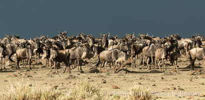 Image 29781, Wildebeest Herd, Maasai Mara National Reserve, Kenya. Maasai Mara National Reserve, Kenya, Connochaetes taurinus