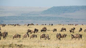 Wildebeest Herd, Maasai Mara National Reserve, Kenya. Maasai Mara National Reserve, Kenya, Connochaetes taurinus, natural history stock photograph, photo id 29888