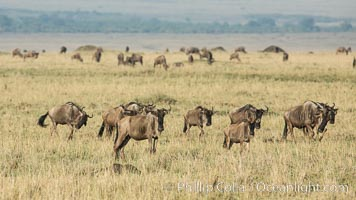 Wildebeest Herd, Maasai Mara National Reserve, Kenya. Maasai Mara National Reserve, Kenya, Connochaetes taurinus, natural history stock photograph, photo id 29889