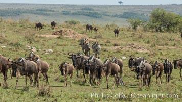 Wildebeest Herd, Maasai Mara National Reserve, Kenya. Maasai Mara National Reserve, Kenya, Connochaetes taurinus, natural history stock photograph, photo id 29909