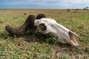 Wildebeest skull, with horn moth larval casings on the horns, greater Maasai Mara, Kenya, Olare Orok Conservancy