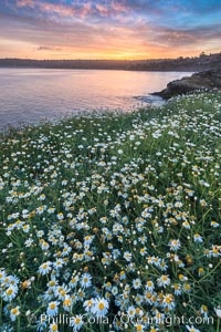 Wildflowers along the La Jolla Cove cliffs, sunrise. La Jolla, California, USA, natural history stock photograph, photo id 33264