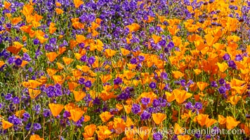 Wildflowers and California Poppies in Bloom, Elsinore. Elsinore, California, USA, Eschscholzia californica, natural history stock photograph, photo id 35236