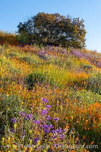Wildflowers and California Poppies in Bloom, Elsinore, Eschscholzia californica