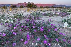 Wildflowers in Anza-Borrego Desert State Park. Anza-Borrego Desert State Park, Borrego Springs, California, USA, Abronia villosa, natural history stock photograph, photo id 30534