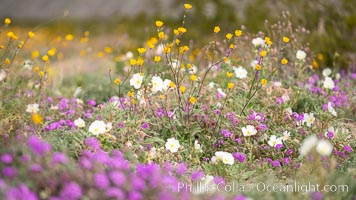 Wildflowers, Anza Borrego Desert State Park. Anza-Borrego Desert State Park, Borrego Springs, California, USA, natural history stock photograph, photo id 35210