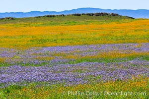 Wildflowers bloom across Carrizo Plains National Monument, during the 2017 Superbloom. Carrizo Plain National Monument, California, USA, natural history stock photograph, photo id 33238
