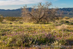 Wildflowers Bloom in Spring, Joshua Tree National Park