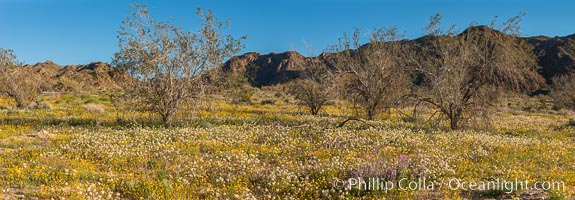 Wildflowers Bloom in Spring, Joshua Tree National Park. California, USA, natural history stock photograph, photo id 33146