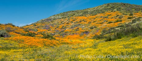 Wildflowers carpets the hills at Diamond Valley Lake, Hemet. Hemet, California, USA, Eschscholzia californica, natural history stock photograph, photo id 33137
