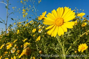 Wildflowers, Rancho La Costa, Carlsbad. Rancho La Costa, Carlsbad, California, USA, natural history stock photograph, photo id 33225