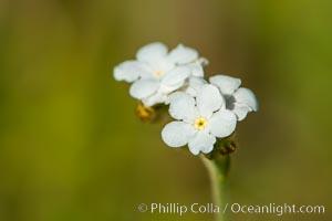 Wildflowers, Santa Rosa Plateau, Santa Rosa Plateau Ecological Reserve, Murrieta, California