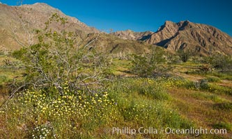 Wildflowers bloom in Anza Borrego Desert State Park, during the 2017 Superbloom, Anza-Borrego Desert State Park, Borrego Springs, California