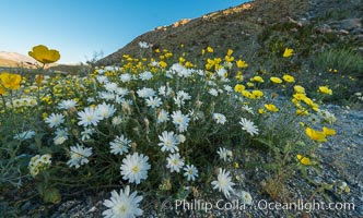 Wildflowers bloom in Anza Borrego Desert State Park, during the 2017 Superbloom, Anza-Borrego Desert State Park, Borrego Springs, California