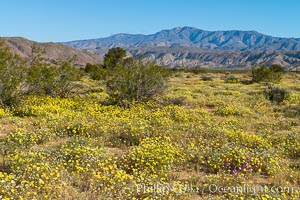 Wildflowers bloom in Anza Borrego Desert State Park, during the 2017 Superbloom. Anza-Borrego Desert State Park, Borrego Springs, California, USA, natural history stock photograph, photo id 33221