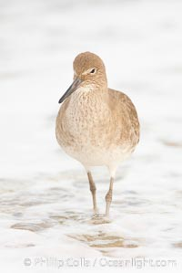 Willet on sand. La Jolla, California, USA, Catoptrophurus semipalmatus, natural history stock photograph, photo id 18422
