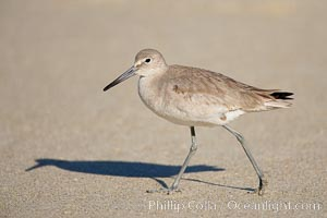 Willet walking on sand at low tide, sunrise. La Jolla, California, USA, Catoptrophurus semipalmatus, natural history stock photograph, photo id 18271