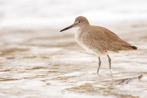 Willet on sand, Catoptrophurus semipalmatus, La Jolla, California
