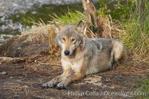 Wolf. Brooks River, Katmai National Park, Alaska, USA, natural history stock photograph, photo id 16981