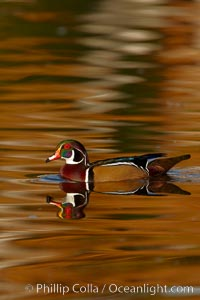 Wood duck, male, Aix sponsa, Santee Lakes