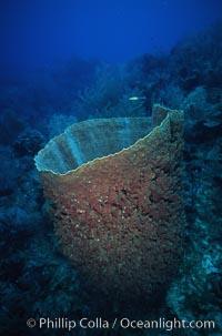 Barrel sponge, Xestospongia muta, Roatan