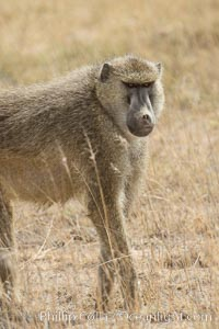Yellow Baboon, Amboseli National Park, Kenya, Papio cynocephalus
