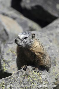Yellow-bellied marmots can often be found on rocky slopes, perched atop boulders, Marmota flaviventris, Yellowstone National Park, Wyoming