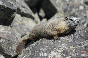 Image 07332, Yellow-bellied marmots can often be found on rocky slopes, perched atop boulders. Yellowstone National Park, Wyoming, USA, Marmota flaviventris