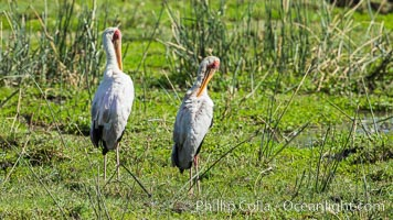 Yellow-billed stork, Meru National Park, Kenya, Mycteria ibis