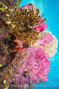 Yellow Crinoid and Pink Dendronephthya Soft Coral, on South Pacific Reef, Fiji. Namena Marine Reserve, Namena Island, Fiji, Dendronephthya, Crinoidea, natural history stock photograph, photo id 31580