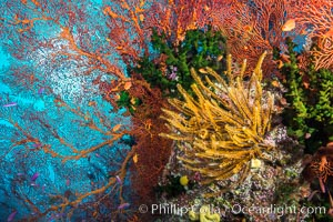 Yellow crinoid, green fan coral and red gorgonian on colorful and pristine coral reef, Fiji, Crinoidea, Gorgonacea, Tubastrea micrantha, Wakaya Island, Lomaiviti Archipelago