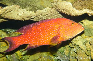 Image 12880, Coral grouper., Variola louti, Phillip Colla, all rights reserved worldwide. Keywords: animal, cephalopholis miniata, color and pattern, color morph, coral grouper, creature, fish, fish anatomy, grouper, indo-pacific, marine, marine fish, nature, ocean, sea, spot, teleost fish, underwater, variola louti, wildlife, yellow-edged lyretail grouper.
