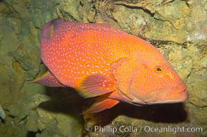 Coral grouper., Variola louti, natural history stock photograph, photo id 12881