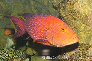 Coral grouper., Variola louti, natural history stock photograph, photo id 12883