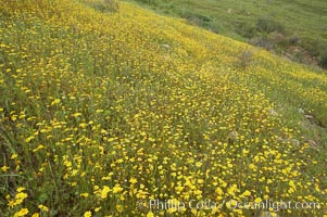 Unidentified yellow flowers bloom in spring, Lake Elsinore