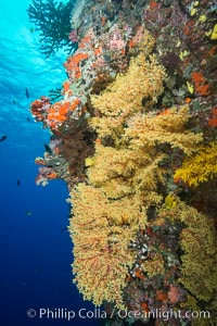 Yellow Chironephthya Soft Corals on Tropical Coral Reef, Fiji. Vatu I Ra Passage, Bligh Waters, Viti Levu  Island, Fiji, Chironephthya, natural history stock photograph, photo id 31697