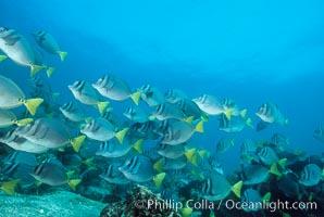Yellow-tailed surgeonfish, Cape Marshall, Prionurus laticlavius, Isabella Island