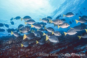Yellow-tailed surgeonfish, Devils Crown, Floreana Island