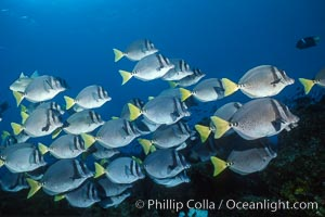 Yellow-tailed surgeonfish, Cape Marshall, Prionurus laticlavius, Isabella Island