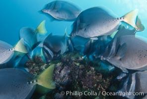Yellow-tailed surgeonfish, Cape Marshall. Isabella Island, Galapagos Islands, Ecuador, Prionurus laticlavius, natural history stock photograph, photo id 05109