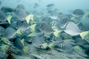 Yellowtail surgeonfish, motion blur. Cousins, Galapagos Islands, Ecuador, Prionurus laticlavius, natural history stock photograph, photo id 16368