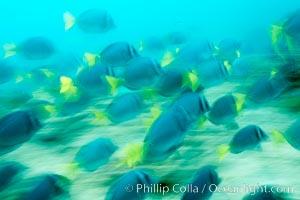 Yellowtail surgeonfish, motion blur. Cousins, Galapagos Islands, Ecuador, Prionurus laticlavius, natural history stock photograph, photo id 16377
