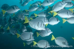 Yellowtail surgeonfish. Cousins, Galapagos Islands, Ecuador, Prionurus laticlavius, natural history stock photograph, photo id 16388