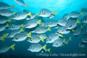 Yellowtail surgeonfish. Cousins, Galapagos Islands, Ecuador, Prionurus laticlavius, natural history stock photograph, photo id 16390