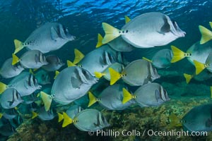 Yellow-tailed surgeonfish schooling, Sea of Cortez, Baja California, Mexico. Sea of Cortez, Baja California, Mexico, Prionurus laticlavius, natural history stock photograph, photo id 27565