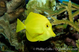 Yellow tang., Zebrasoma flavescens, natural history stock photograph, photo id 09446
