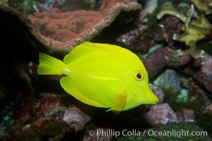Yellow tang, Zebrasoma flavescens